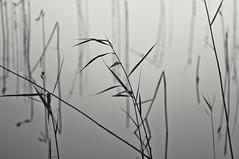 Impression (Stefano Rugolo) Tags: stefanorugolo pentax k5 pentaxk5 smcpentaxm100mmf28 kmount ricohimaging abstract bythelake water reeds impression depthoffield manualfocuslens manualfocus manual vintagelens monochrome blackandwhite hälsingland sweden sverige
