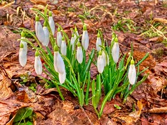 First snowdrops of the year in Kiefersfelden, Bavaria, Germany (UweBKK (α 77 on )) Tags: snowdrops schneeglöckchen spring flower blossom plant flora early leaf leaves kiefersfelden bavaria bayern germany deutschland europe europa iphone
