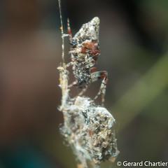 Cyclosa sp. (Trashline Spider) (GeeC) Tags: arachnida animalia cyclosa araneomorphae nature arthropoda araneidae cambodia kohkongprovince tatai araneae orbweavers spiders trashlineorbweavers truespiders