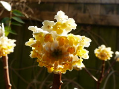 P1180706 (jrcollman) Tags: 21beechwoodave gardens places plants edgeworthiachrysanthaetomentosaepapyrifera eplant