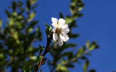 Almond blossom (Alfredo Liverani) Tags: freitagsblümchenfridayflora freitagsblümchen fridayflora friday flora ff 7dwfff canong5x canon g5x pointandshoot point shoot ps flickrdigital flickr digital camera cameras 0672019 project365067 project365030819 project36508mar19 oneaday photoaday pictureaday project365 project project2019 2019pad fiori fiore flower flowers blumen blume fleurs fleur fantasticmonday fantastic monday fm 7dwffm