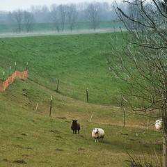 sheep (noisy__nisroc) Tags: instagram ifttt nature outside sheep schleswigholstein derechtenorden derwahrenorden