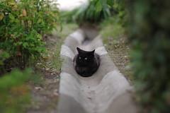 Black Cat (Flexible Negativity) Tags: kitten kitty k70 cat caturday nuko pentax 猫 貓 meow blackcat ねこ
