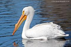 American White Pelican 19-3480 (Hans Spiecker Photography) Tags: americanwhitepelican california sepulvedadam