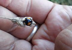 Harlequin ladybird, Harmonia axyridis (Geckoo76) Tags: insect beetle ladybird ladybug harlequinladybird harmoniaaxyridis
