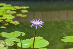 Water Lily (yc4646) Tags: magnoliophyta magnoliopsida nymphaea nymphaeadaubenyana nymphaeaceae angiospermes dicots dicotylédones floweringplants phanérogames plantesàfleurs plantesàfruits plants waterlilies waterlily singaopre singapore