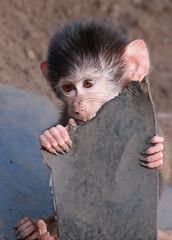 hamadryas baboon amersfoort 094A0059 (j.a.kok) Tags: animal africa afrika aap mammal monkey primate primaat baboon baviaan mantelbaviaan hamadryasbaboon zoogdier dier amersfoort