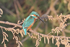 Common Kingfisher-Alcedo atthis (sigmundurasgeirsson) Tags: bláþyrill commonkingfisher alcedoatthis