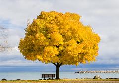 Catching the Light (robin-loo) Tags: tree maple fall meaford ontario nikon nikond5100 georgianbay autumn