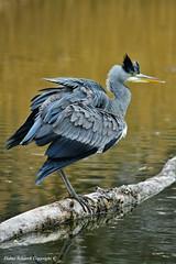 Héron cendré (Ardea cinerea) (118) (Didier Schürch) Tags: eau lac animal oiseau héron ngc