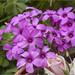 Vinagrillo rosado. (josemph) Tags: olympus e3 zuiko zd 35mm macro plantas oxalidáceas vinagrillorosado oxalisarticulata