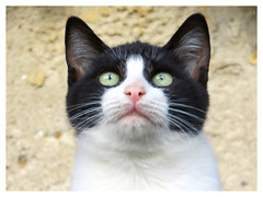 Things are looking up! (The Stig 2009) Tags: black white cat fluffy face big eyes looking up thestig2009 thestig stig 2009 2019 tony o tonyo whiskers