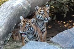 So neugierig (Ria Trouw) Tags: tiere tierpark berlin sumatratiger tiger raubtiere säugetiere tierkinder