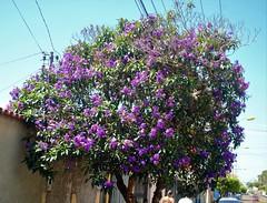 DSC_4009 (2) (Proflázaro) Tags: brasil goiás cidade jataí viagem canteiro jardim árvore flor flordocerrado árvoredocerrado cerrado muro