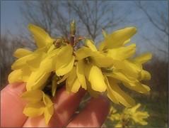 (Tölgyesi Kata) Tags: botanikuskert botanicalgarden withcanonpowershota620 tuzsonjánosbotanikuskert nyíregyháza plant yellowflower aranyfa forsythia tavasz spring aranyvessző macro hand kéz