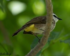 Resting Time (TattooIND) Tags: a9 sony bird birds birdwatching 100400 gm singapore branch tree trees green yellow beak