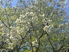 IMG_9927 April 18, 2018 (tombrewster6154) Tags: spring blossoms dogwood greensboro arboretum branches april north carolina white new life pretty