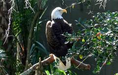 Eagle  --  1080543~2 (mshnaya ☺) Tags: american eagle bald roost perch raptor bird prey fowl wildfowl flickr photo pic camera compact point shoot leicac 白头鹰