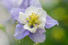 Looking Forward to Summer (San Francisco Gal) Tags: aquilegia columbine flower fleur bloom blossom bokeh macro ngc npc