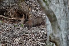 Groundhog_0653 (2)e (Porch Dog) Tags: 2019 garywhittington kentucky nikond750 nikkor200500mm february winter lbl landbetweenthelakes betweentherivers nature wildlife outdoors