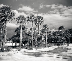Between Storms (Demmer S) Tags: parkinglot puddle rain stormy trees palmtrees rainy nature tree puddles storms weather clouds outdoors palm plants tropics shadow outside shadows palms palmtree foliage tall botanical arboreal towering botanic arecales arecaceae fronds perennial unbranchedstem tropical plant leaves street streetphotography streetscene rainyday bw monochrome blackwhite blackandwhite blackwhitephotos blackwhitephoto sky