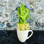 #Leticia the #lettuce growing nicely. thumbnail