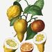 Bitter orange (Citrus bigaradia bizarro) illustration from Trait