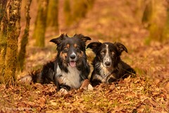 Border Collies in forest (Flemming Andersen) Tags: forest yatzy frisbee dogs bordercollie