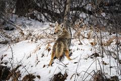 Hunting Interrupted (Bernie Duhamel) Tags: coyote colorado coloradowildlife wildlife sonya9 sonyfe100400mm frontrange greatphotographers teamsony rockymountains bouldercounty boulder bernie duhamel snow winter coyotes hunting vole