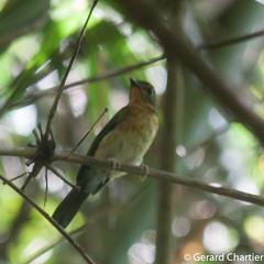 Cyornis sp. (GeeC) Tags: tatai muscicapidae nature chordata animalia kohkongprovince cambodia aves passeriformes ficedula birds flycatchers passerines cyornis