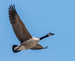 _DSC0693 (doug.metcalfe1) Tags: 2019 canadagoose dougmetcalfe nature ontario outdoor tommythompsonpark toronto bird inflight