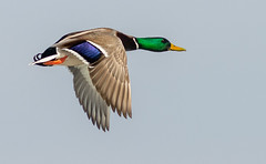 _DSC0686 (doug.metcalfe1) Tags: 2019 dougmetcalfe mallard nature ontario outdoor tommythompsonpark toronto bird duck inflight
