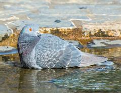 Soak your Feet. (Omygodtom) Tags: bird pigion wildlife urbunnature usgs nature nikon dof d7100 detail diamond nikon70300mmvrlens water