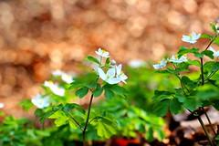 (sassenka) Tags: flower nature green white canon 600d 50mm