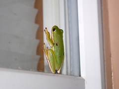 Climbing The Window. (dccradio) Tags: lumberton nc northcarolina robesoncounty outdoor outdoors outside wildlife animal frog toad nature natural window april spring springtime wednesday wednesdaynight night evening treefrog nikon d40 dslr