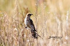 Diederik Cuckoo, Marievale, Gauteng, March 2019 (roelofvdb) Tags: 386 cuckoo cuckoodiderick diderickcuckoo southernafricanbirds