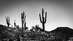 Saguaro-8598 (TheBrokePhotographer.Blog) Tags: arizona cactus desert landscape nature northamerica phoenix rocks saguaro unitedstates summer winter cold hot hills mountains sonoran sonora hiking travel tourism adventure blackandwhite monochrome