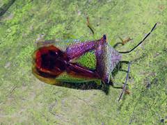 Hawthorn Shieldbug, near Gelt Woods, 26 December 18 (gillean55) Tags: canon powershot sx60 hs superzoom bridge camera north cumbria brampton geltwoods hemiptera hawthornshieldbug acanthosomahaemorrhoidale