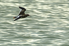 Redshank (ianbartlett) Tags: 365 outdoor wildlife nature birds flight monochrome sea sand water dogs groynes drone landscape light colour seal