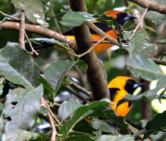Yellow-backed Oriole, Icterus chrysater (asterisktom) Tags: tripnicaraguanorthward2018 2018 nicaragua december selvanegra matagalpa bird vogel ave 鸟 птица 鳥 pajaro banana tree yellowbackedoriole icteruschrysater oriole