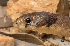 Eastern Hooded Scaly-foot (Pygopus schraderi) (elliotbudd) Tags: eastern hooded scaly foot scalyfoot pygopus schraderi elliot budd pygopod legless lizard snake qld queensland charters towers region townsville