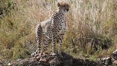 Cheetah (Everyday Glory!!!) Tags: masaimara africa kenya safari gamedrive mara wildlife wild maasaimara maasai