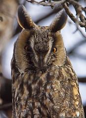 Gufo Comune (Gianpaolo Bottin) Tags: bulgaria novazagora wildlife gufocomune asio otus