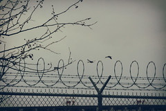 between the coils (annapolis_rose) Tags: geese birds chainlinkfence barbedwire richmond greatervancouver