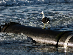 Going By Tube (Steve Taylor (Photography)) Tags: pipe tube walking bird gull seagull metal newzealand nz southisland canterbury christchurch northnewbrighton ocean pacific sea surf waves wet autumn