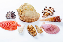 Different colors and shapes of sea shells (wuestenigel) Tags: crustacean natural group exotic conch nature different collection background shell sea variety clam mollusk colorful ocean pearl seashell pink closeup spiral snail souvenir shellfish summer marine white muschel schaltier schale scallop jakobsmuschel meer noperson keineperson desktop cockleshell cockle herzmuschel tropical tropisch sommer sammlung disjunct disjunkt schnecke krebstiere natur beach strand