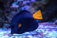 AE43E1AF-D46E-4DE1-B41E-C8917FD2951A (zammit.daniel1) Tags: yellow tang purpletang cleanershrimp cardinal regaltang bluetang firefish clownfish zoa leather toadstool reef reeftank marine candycane coral