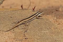 STRISKIN 0392 (bryanjsmith62) Tags: stipedskink africanstripedskink reptilesofsouthafrica ©bryanjsmith trachylepisstriata mabuyastriata africanstripedmabuya