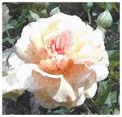 Preis dir, Herr Jesu, du hast uns erworben (amras_de) Tags: rose rosen ruža rosa ruže rozo roos arrosa ruusut rós rózsa rože rozes rozen roser róza trandafir vrtnica rossläktet gül blüte blume flor cvijet kvet blomst flower floro õis lore kukka fleur bláth virág blóm fiore flos žiedas zieds bloem blome kwiat floare ciuri flouer cvet blomma çiçek zeichnung dibuix kresba tegning drawing desegnajo dibujo piirustus dessin crtež rajz teikning disegno adumbratio zimejums tekening tegnekunst rysunek desenho desen risba teckning çizim