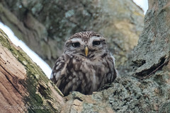Little Owl (Johnchess) Tags: richmondpark fridaybirdgroup 18january2019